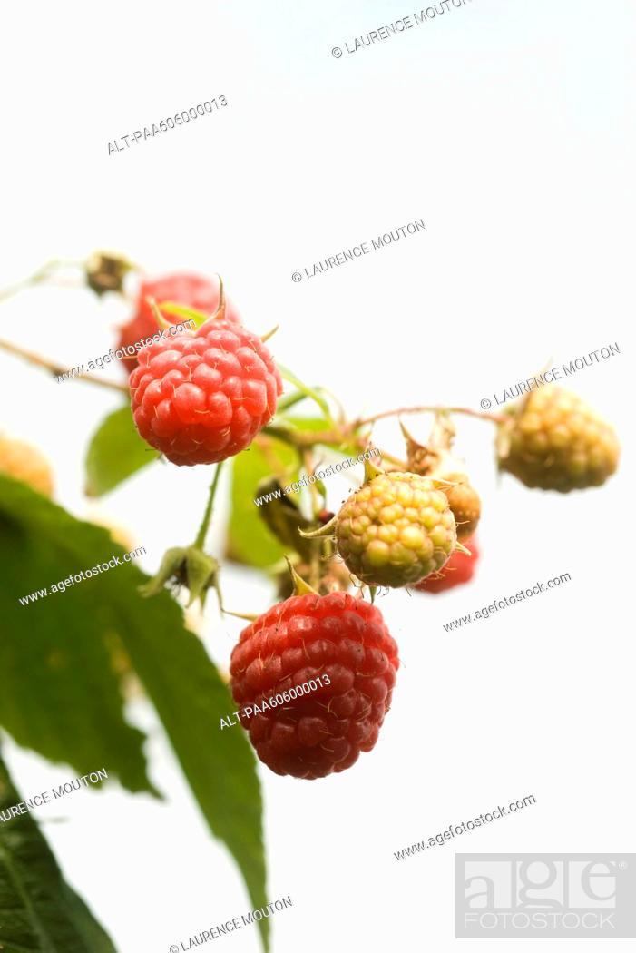Stock Photo: Raspberries ripening on bush.
