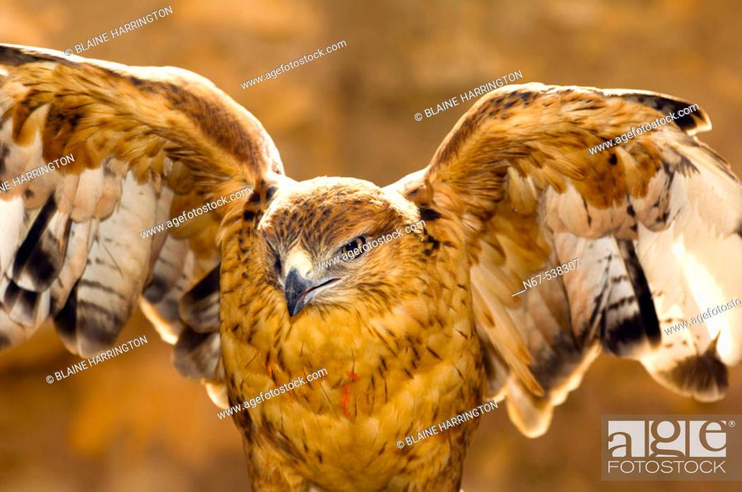 Stock Photo: Hawk, Ksar Hadada, Tunisia.