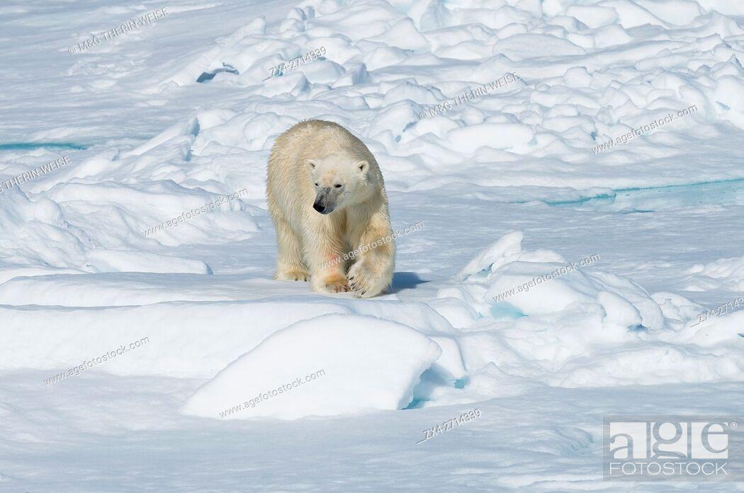 Photo de stock: Male Polar Bear (Ursus maritimus) walking over pack ice, Spitsbergen Island, Svalbard archipelago, Norway, Europe.