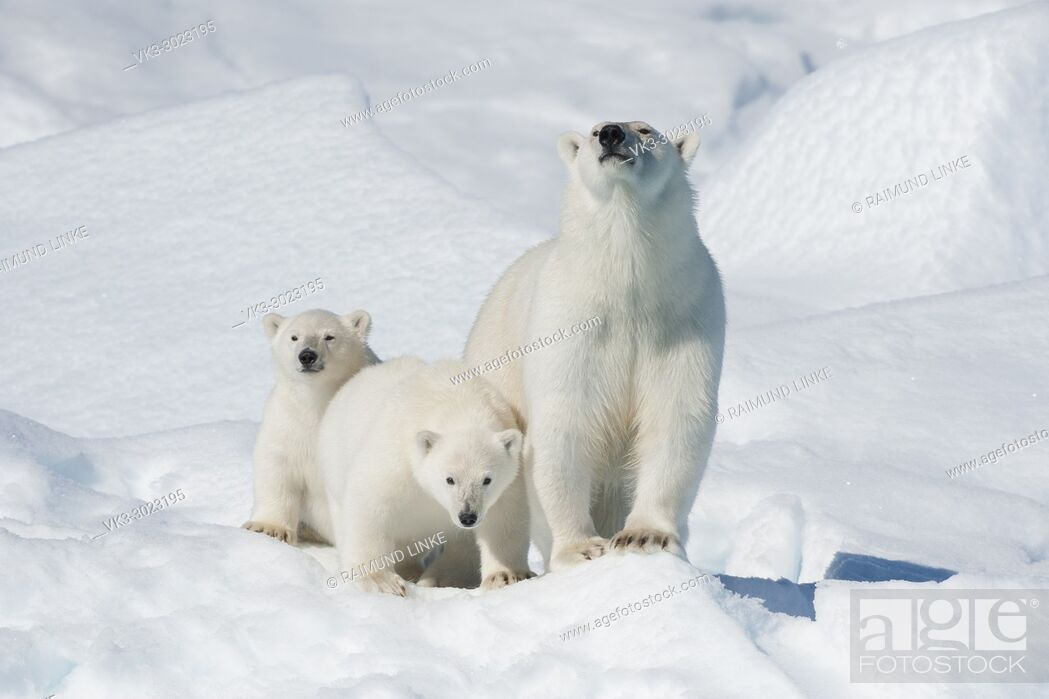Stock Photo: Polar Bear, Ursus maritimus, Mother with Two Cubs, North East Greenland Coast, Greenland, Arctic.