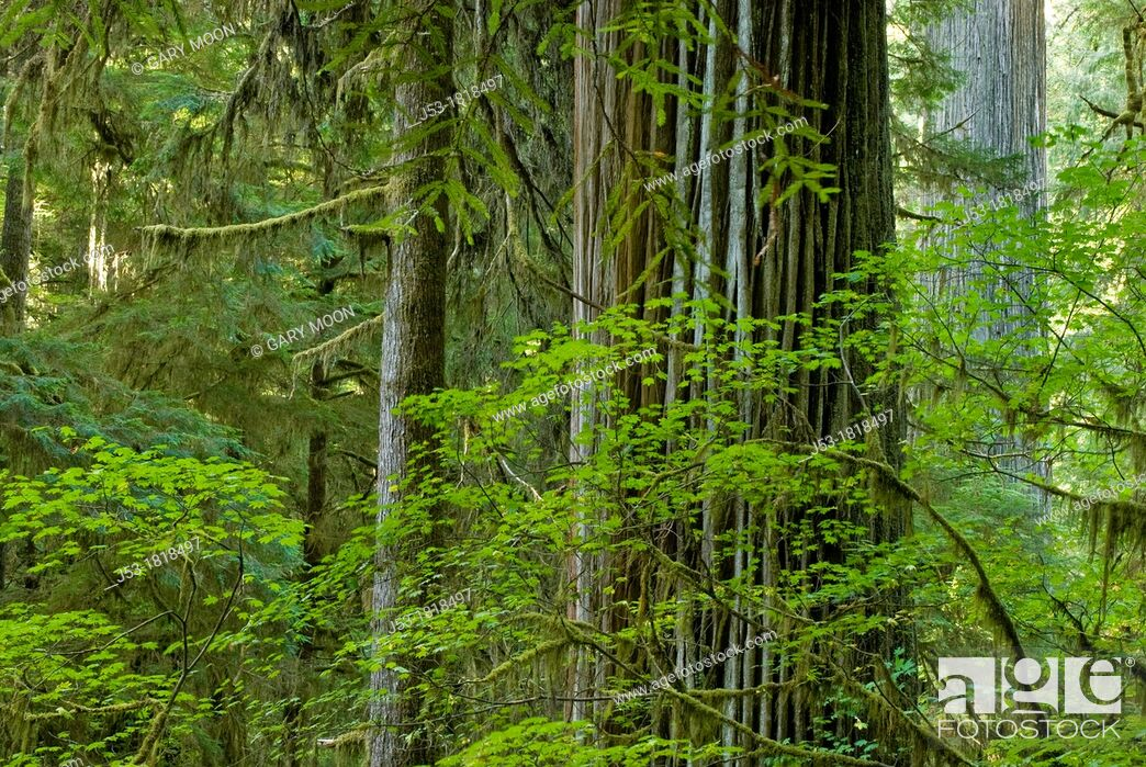 Stock Photo: Old growth coast redwood forest, Jedediah Smith Redwoods State Park, Crescent City, California.