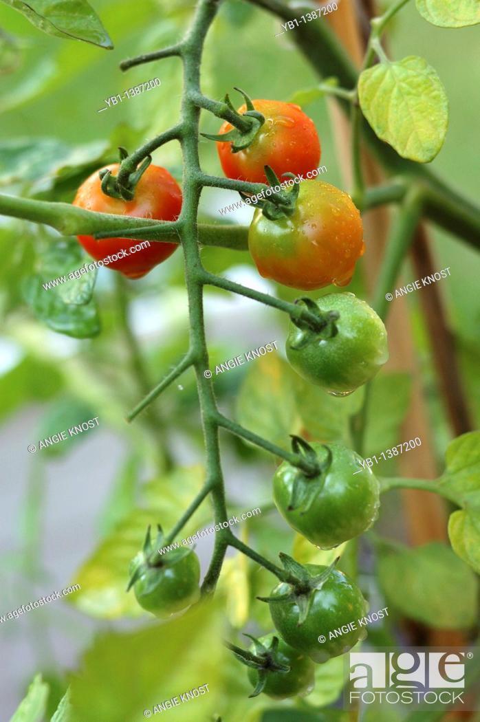 Stock Photo: Sweet 100 hybrid variety of tomatoes in various stages of ripening.