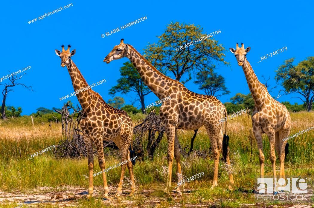 Stock Photo: Giraffes, Kwando Concession, Linyanti Marshes, Botswana.