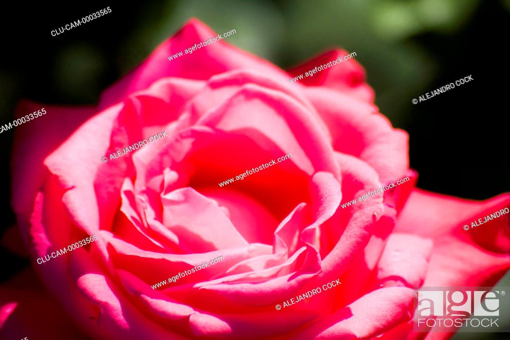 Stock Photo: Rose of the Gardens of the Alhambra, Granada, Andalusia, Spain, Europe.