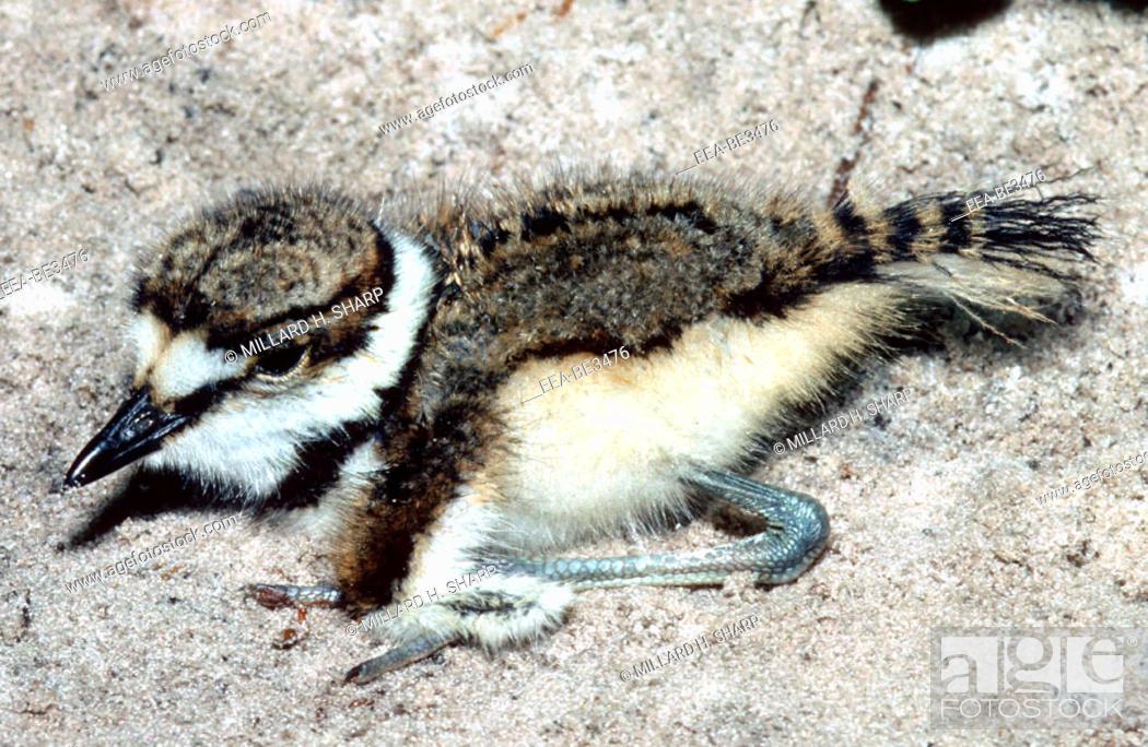 Stock Photo: Killdeer (Charadrius vociferus) chick. Hanna State Park, Florida.