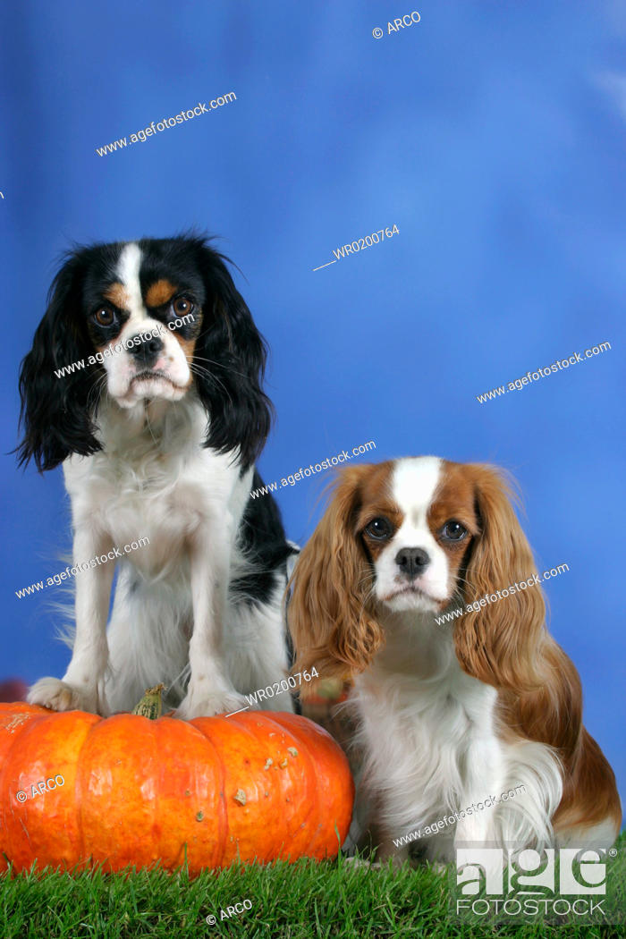 Stock Photo: Cavalier, King, Charles, Spaniel, Blenheim, and, tricolor, with, Pumpkin.