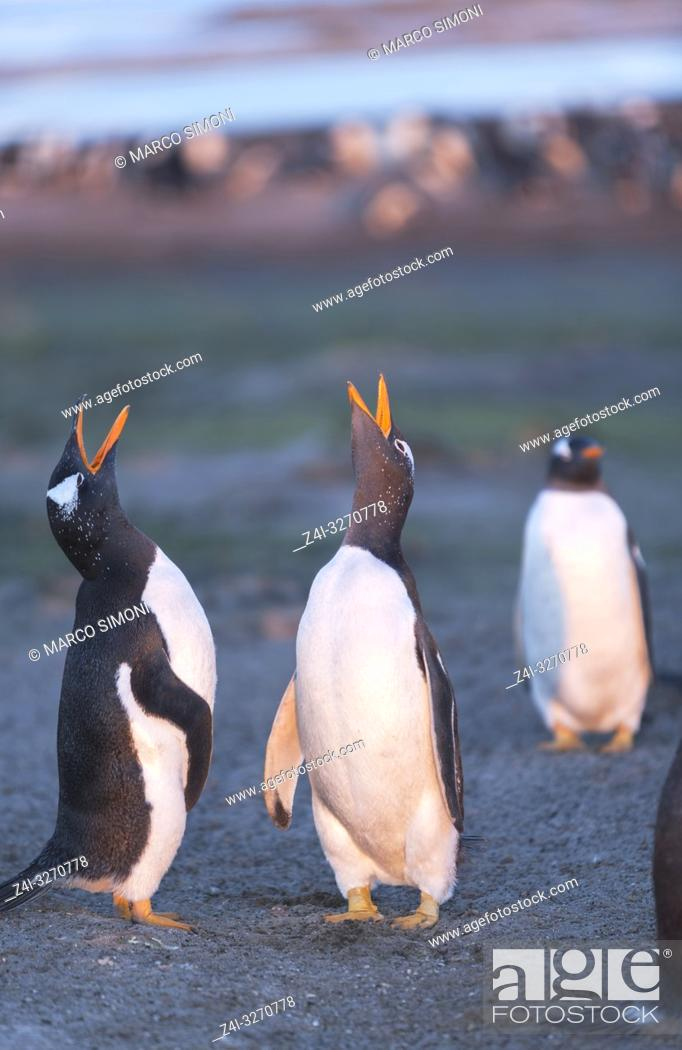 Stock Photo: Gentoo penguins singing (Pygocelis papua papua), Sea Lion Island, Falkland Islands, South Atlantic, South America.