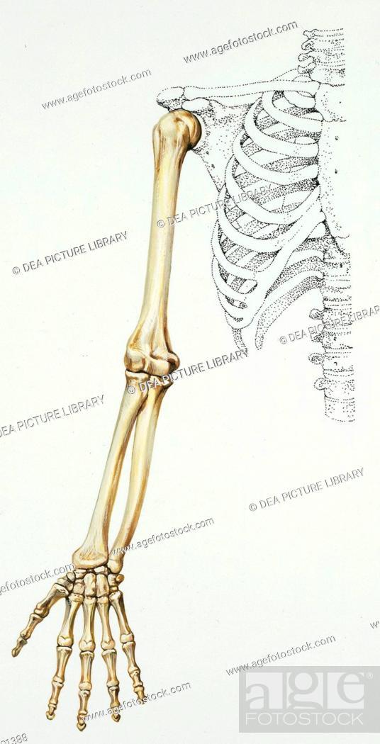 Medicine: Human anatomy, bones, arm. Drawing, Stock Photo, Picture ...