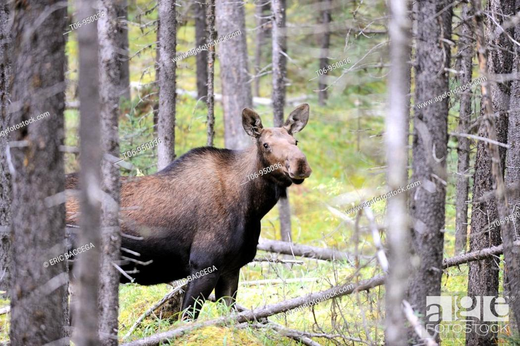Stock Photo: Moose female Alces alces in Jasper National Park  Rocky Mountains, Alberta, Canada.