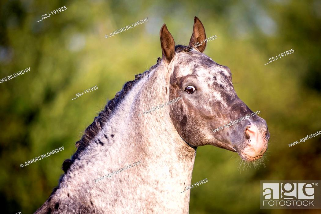 Knabstrup Horse  Portrait of a stallion with mottled skin around the