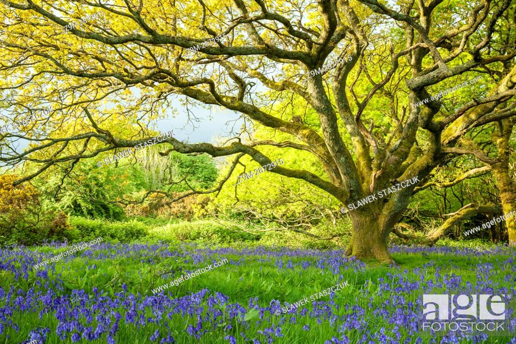 Stock Photo: Bluebells in an oak copse near Brighton, East Sussex, England. South Downs National Park.