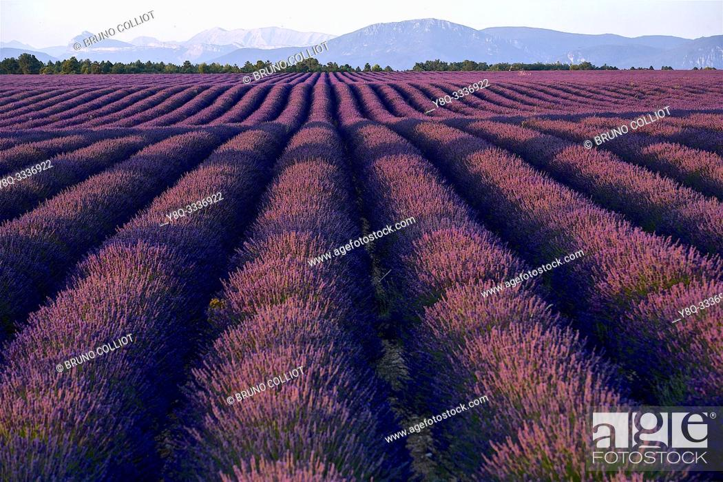 Stock Photo: cultivation of lavender. Valensole. Alpes de Haute Provence, France.