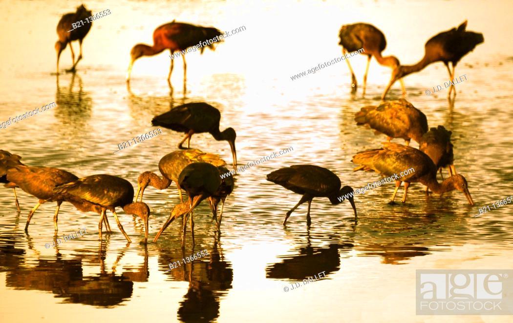 Stock Photo: Ibis, Chobe National Park, Botswana.