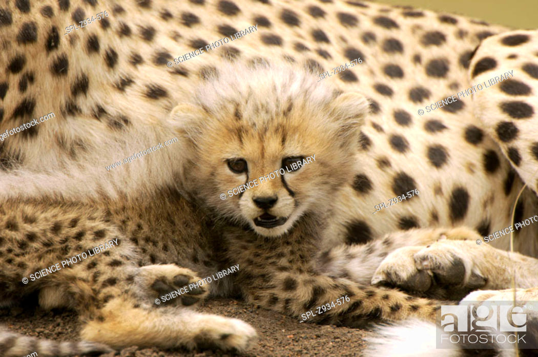 Stock Photo: Cheetah cub (Acinonyx jubatus). Cheetah cubs are weaned after only six weeks, when they accompany their parents to kills rather than being brought food.