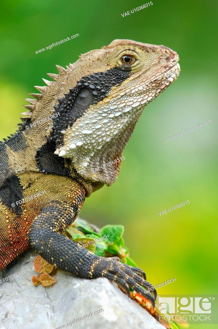 Stock Photo: dragon, animal, creature, concinchina, Australia, huwiler, agame.