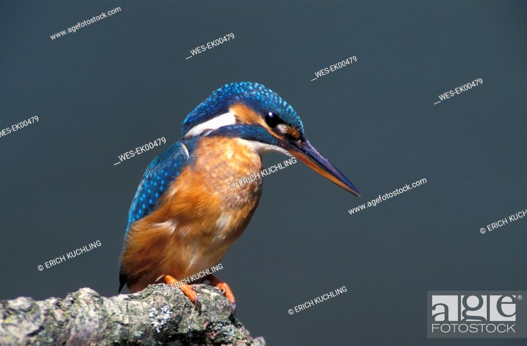 Stock Photo: kingfisher, halcyon.