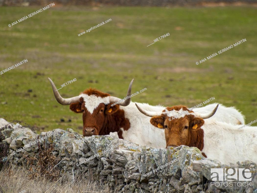 Imagen: A cow of berrenda en colorado breed cows near a stone wall in the dehesa in Salamanca (Spain). Ecological extensive livestock concept.