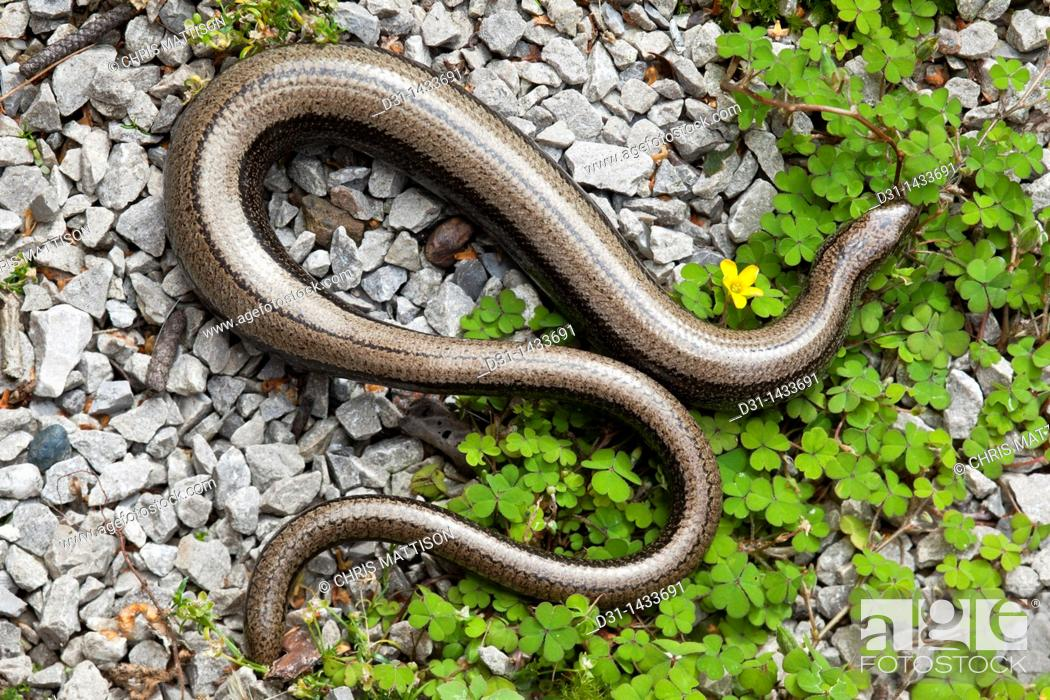 Stock Photo: Slow-worm, Anguis fragilis, pregnant female with partially re-grown tail  Wales.