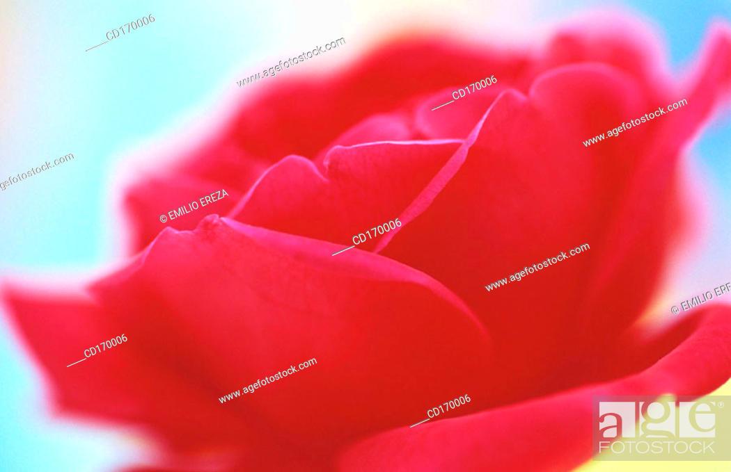 Stock Photo: Rose (Rosa hybr.).