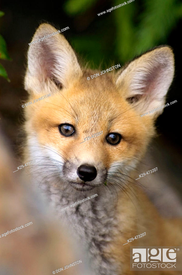 Stock Photo: Red foxes (Vulpes vulpes), kit near roadside den. Killarney Provincial Park, Ontario, Canada.