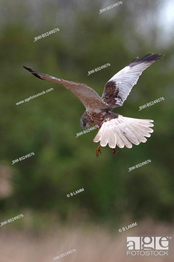 Stock Photo: western marsh harrier Circus aeruginosus, male hovering over reed zone, Netherlands.
