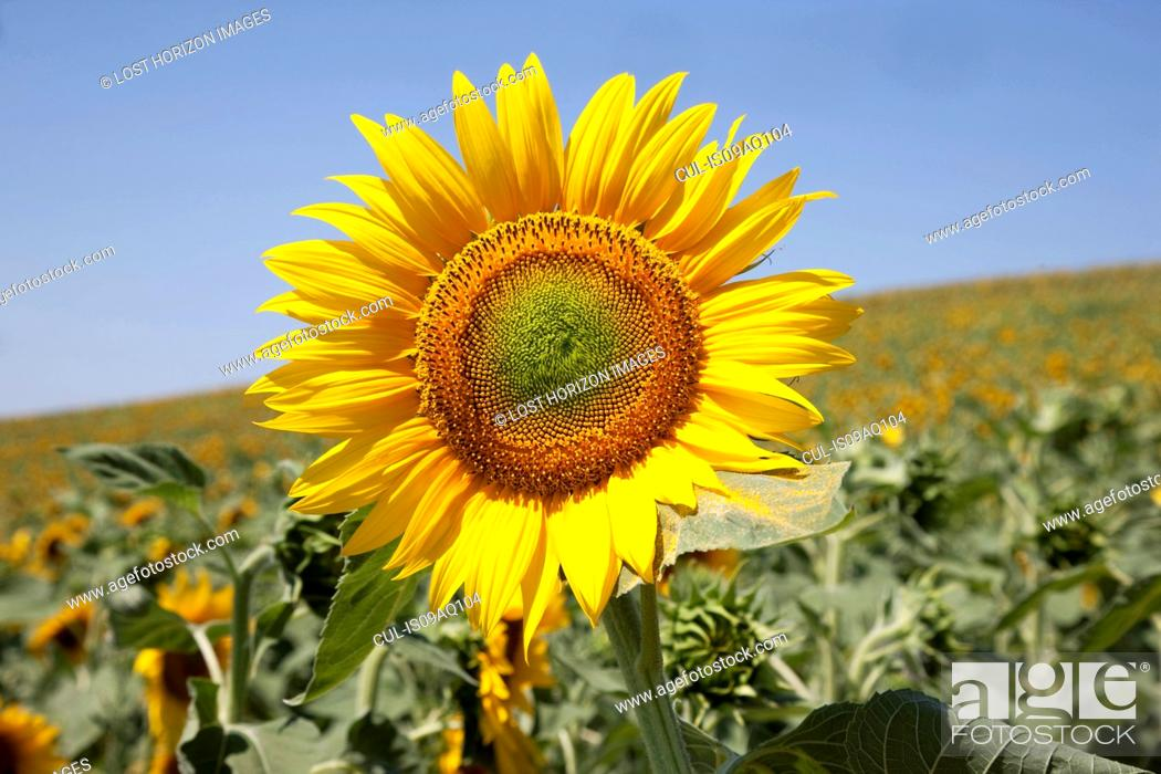 Stock Photo: Close up of sunflower, Pienza, Val D'Orcia, Tuscany, Italy.