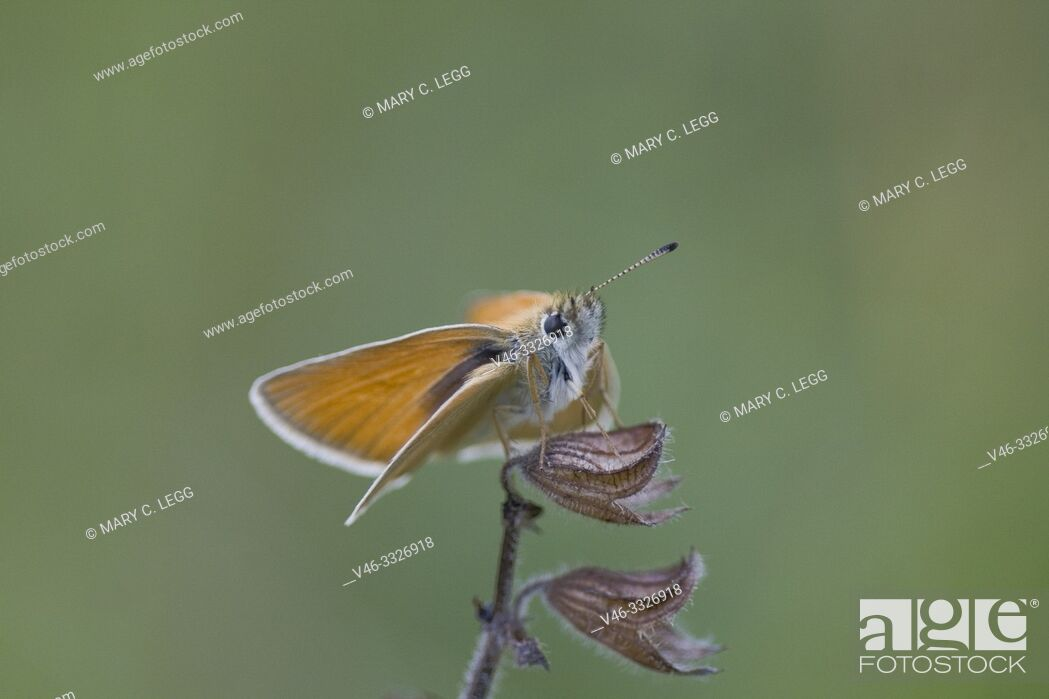 Stock Photo: Essex Skipper, Thymelicus lineola, small skipper similar to the Small Skipper, Thymelicus sylvestris. Perched on snowberry buds.