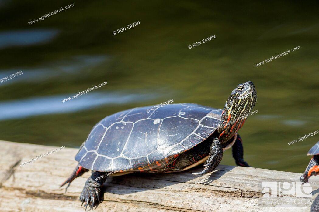 Stock Photo: Midland Painted Turtle (Chrysemys picta marginata) sunning, Killarney Provincial Park, Ontario.