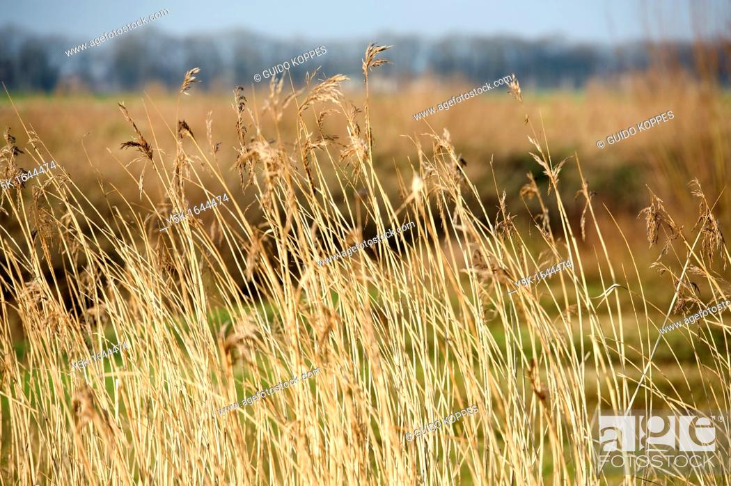 Stock Photo: Rijen, Netherlands. Reed collar on a heath-field in a protected nature conservation area, near Tilburg, Netherlands.