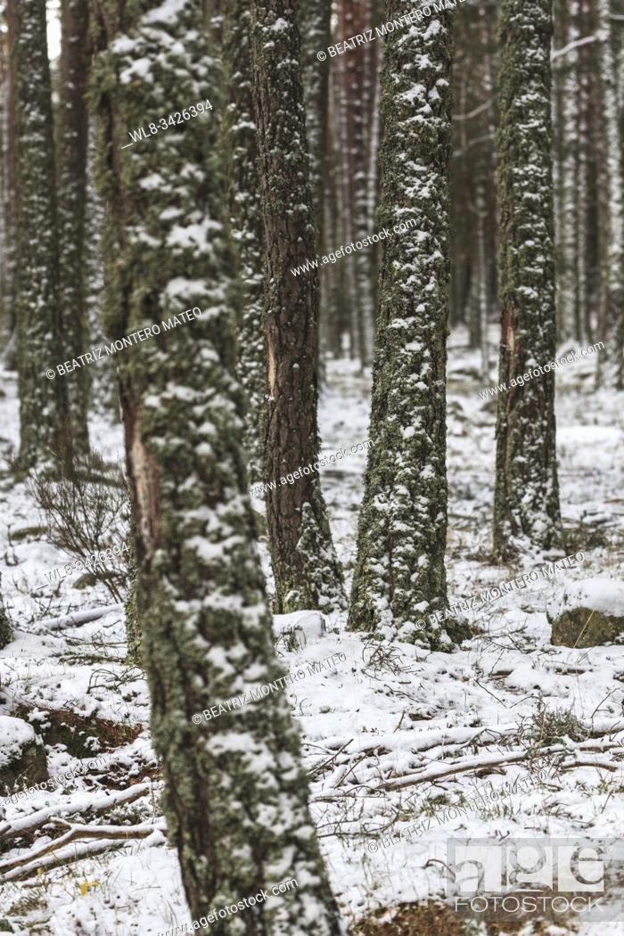 Stock Photo: Detail of a snowy tree in Neila, Burgos (Spain).