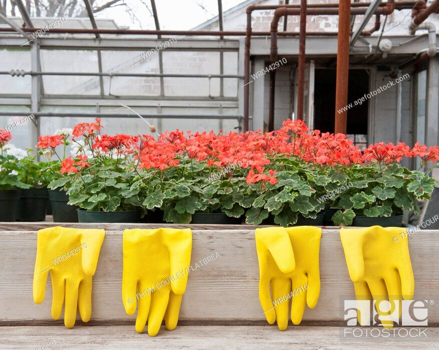 Imagen: Bright Yellow Rubber Gloves and Geraniums.