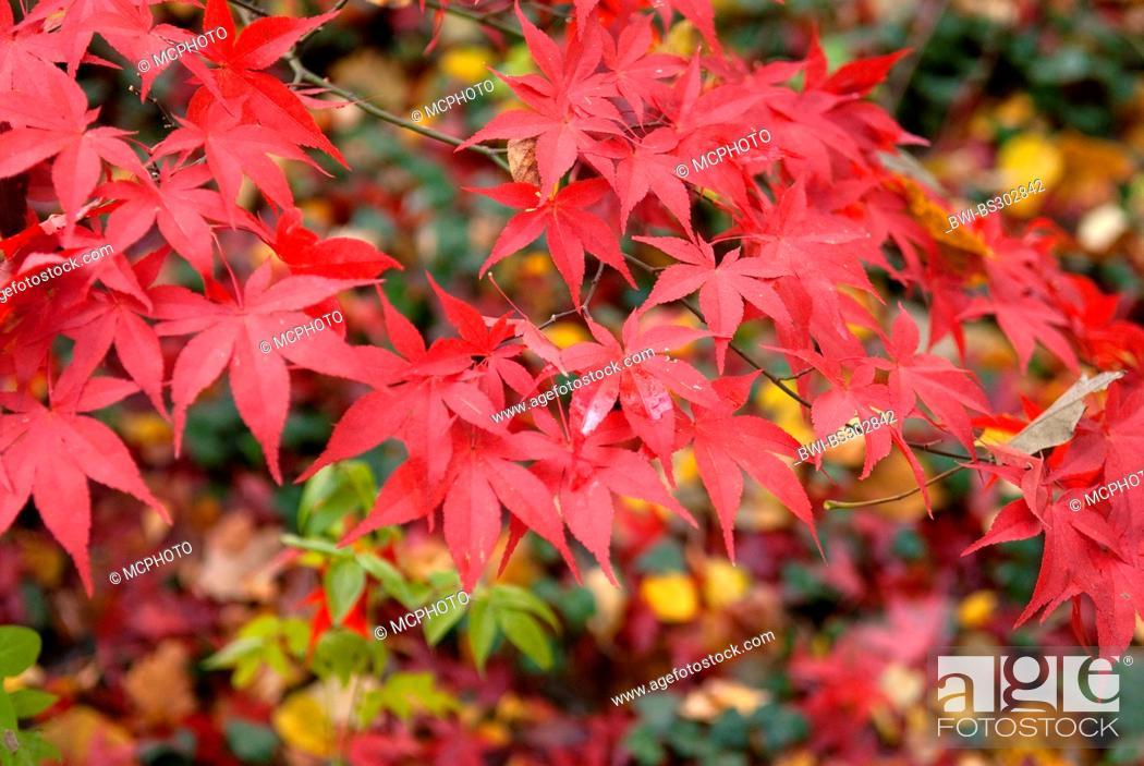 Japanese Maple Acer Palmatum Osakazuki Acer Palmatum Osakazuki