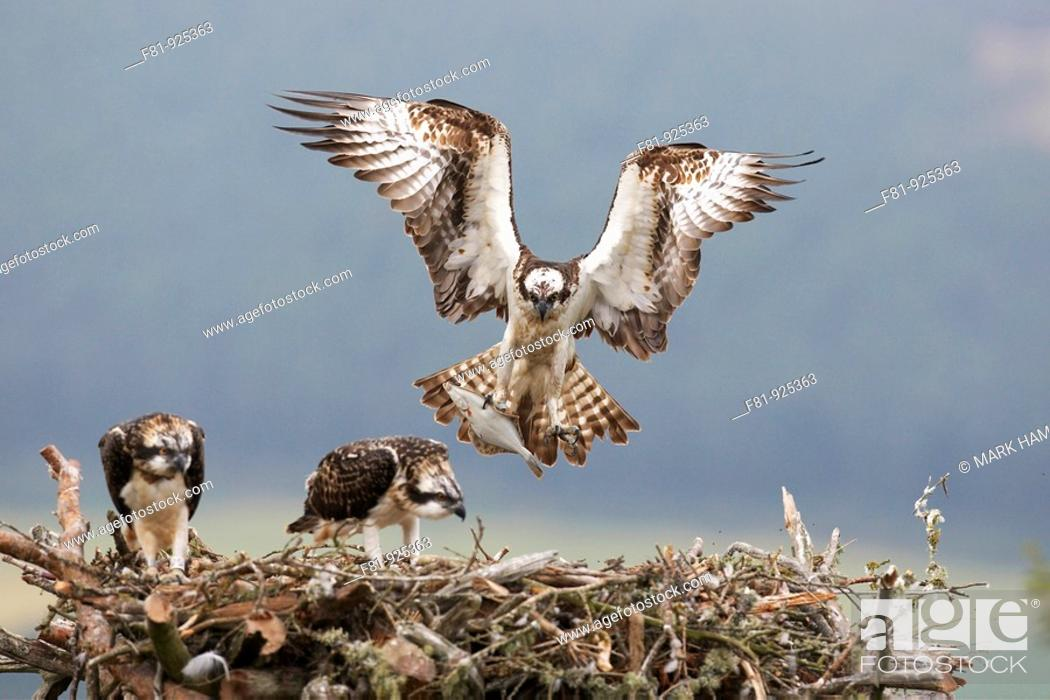 Stock Photo: Osprey Pandion haliaetus male approaching nest with fish for chicks Northern Scotland, UK  July 2008.