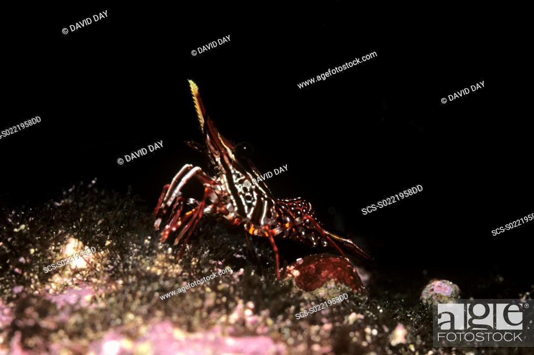 Stock Photo: Striped shrimp Rhynchocinetes typus Brightly coloured shrimp Galapagos, Ecuador 1987.