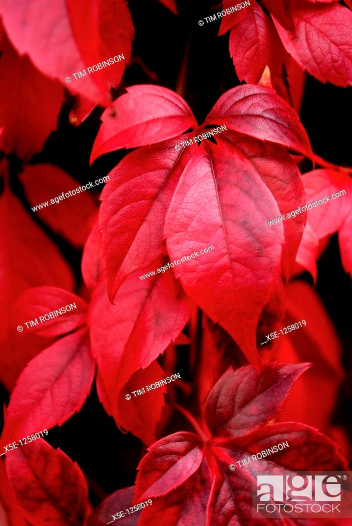 Stock Photo: Close up leaves of Virginia Creeper in autumn.