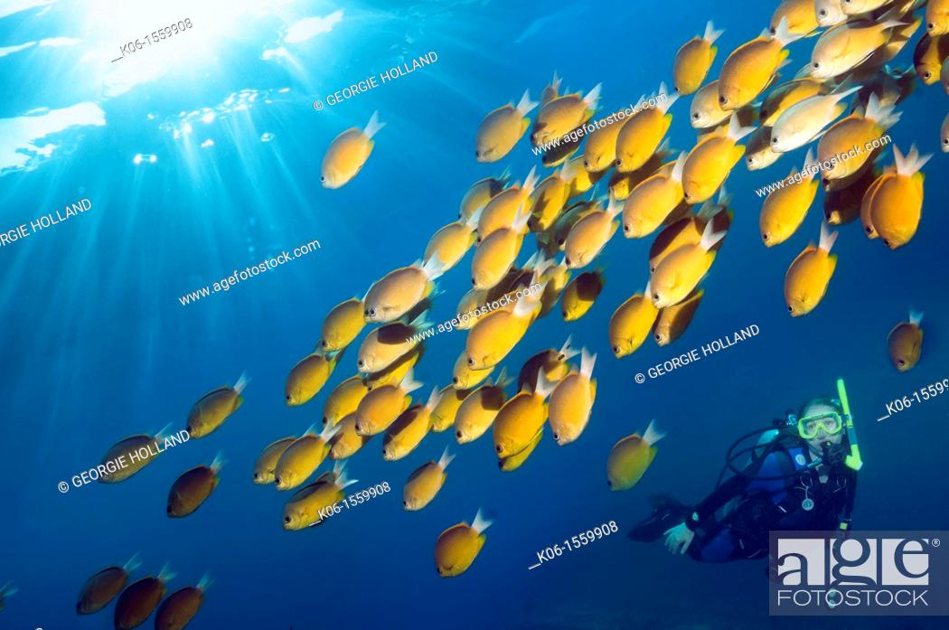 Stock Photo: Diver with Damselfish Chromis cf analis  Indonesia.
