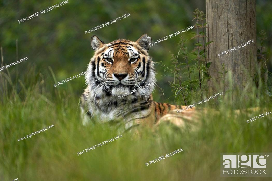 Stock Photo: 04 June 2020, Rhineland-Palatinate, Bell: A Siberian tiger is standing in his enclosure in the Bell Animal Adventure Park.