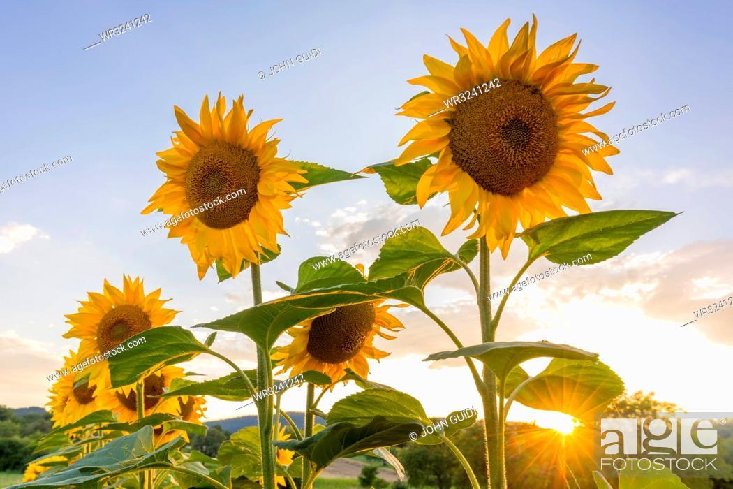 Stock Photo: Sunflowers at sunset in Burgenland, Austria, Europe.
