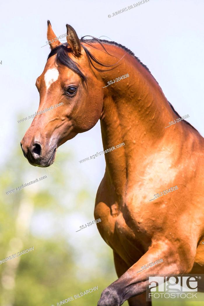 Arab Horse Arabian Horse Portrait Of Bay Stallion Switzerland Stock Photo Picture And Rights Managed Image Pic Ssj 204508 Agefotostock