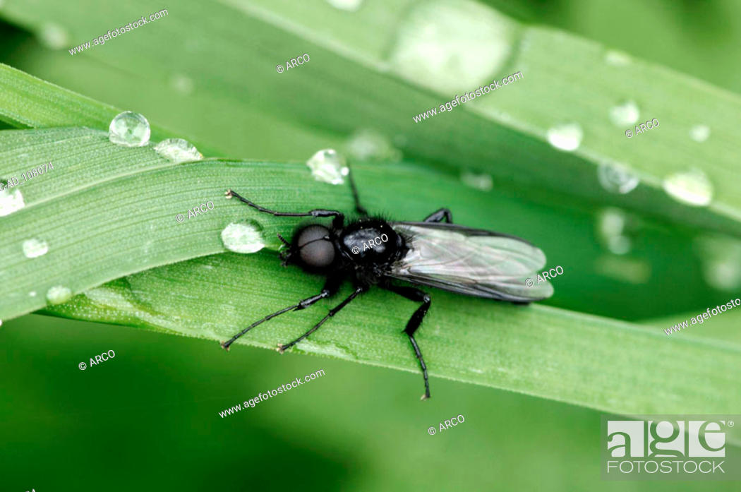 Stock Photo: St. Mark's Fly female North Rhine-Westphalia Germany Bibio marci.
