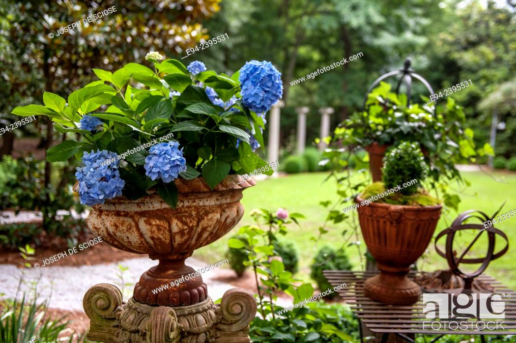 Stock Photo: A flowering hydrangea in a container in a garden with garden decorations.Georgia USA.