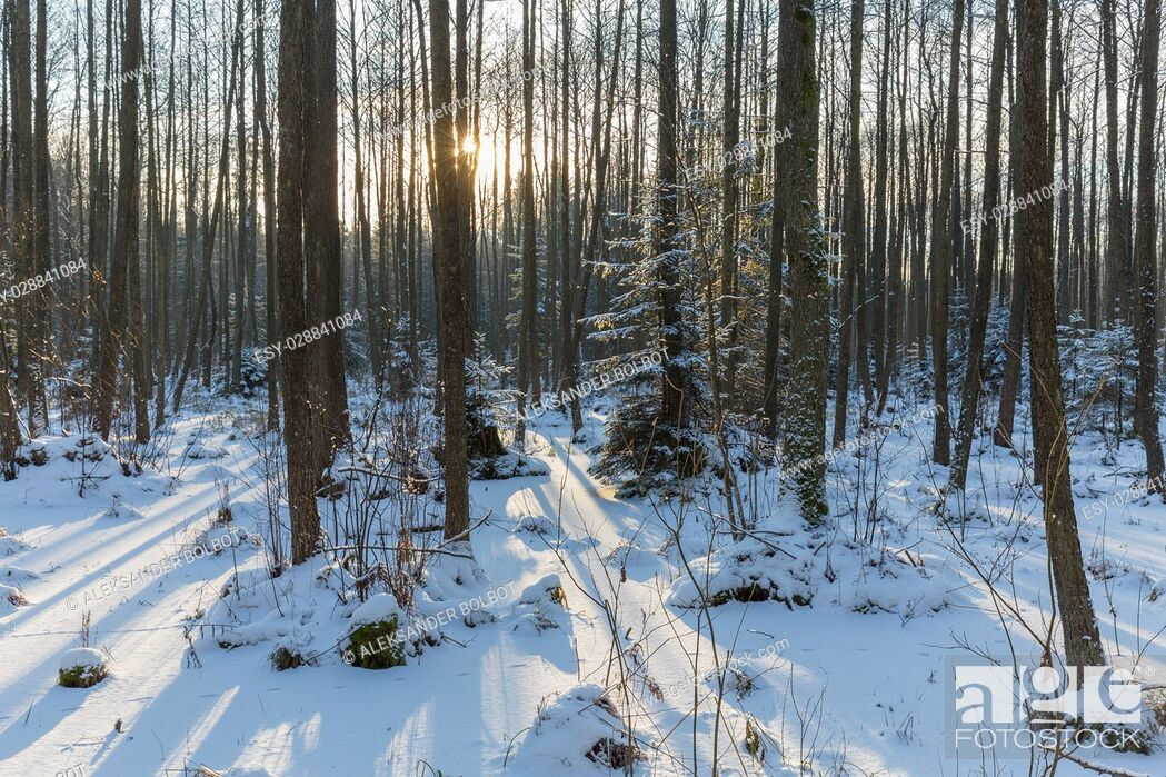 Stock Photo: Winter landscape of naturalstand with alder trees and frozen water around, Bialowieza Forest, Poland, Europe.