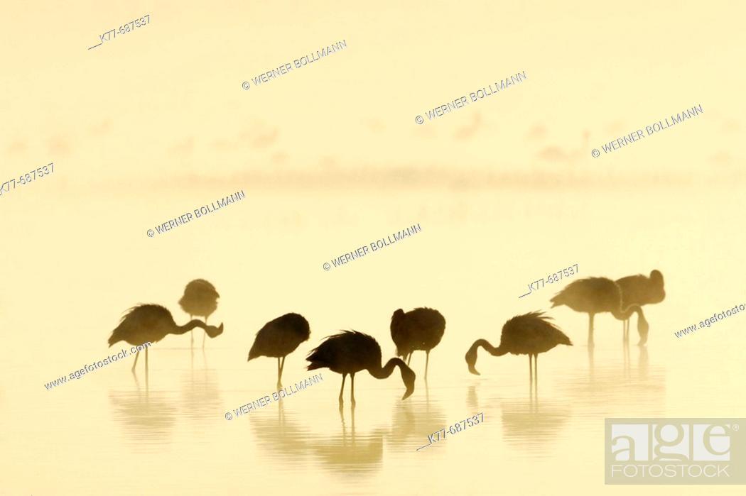 Stock Photo: Lesser Flamingos (Phoenicopterus minor) at sunrise on a foggy morning. Lake Nakuru, Kenya.