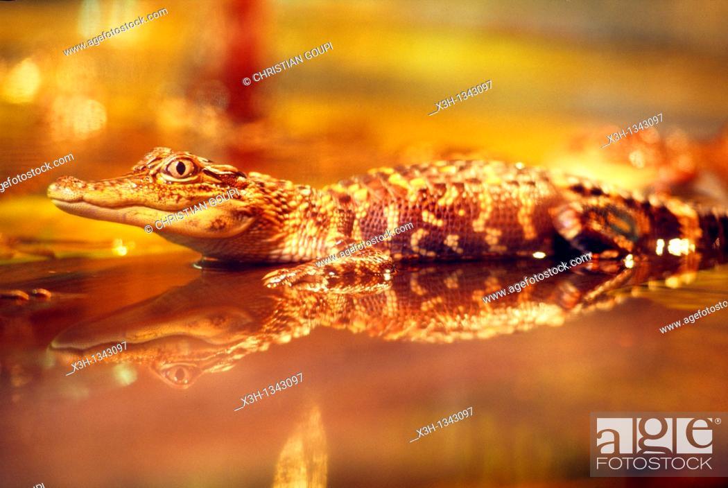 Stock Photo: alligator, bayou, Louisiana, United States of America, Americas.