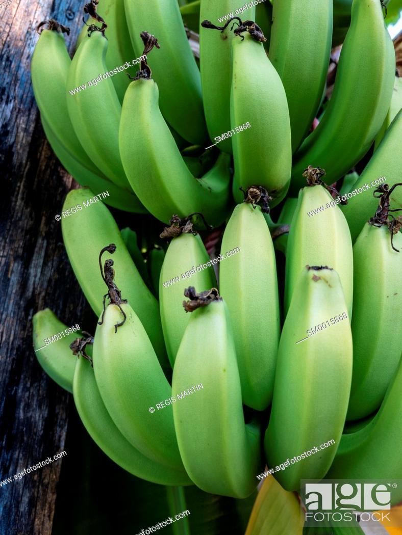 Stock Photo: Green organic bananas growing in a private backyard in Darwin Australia.
