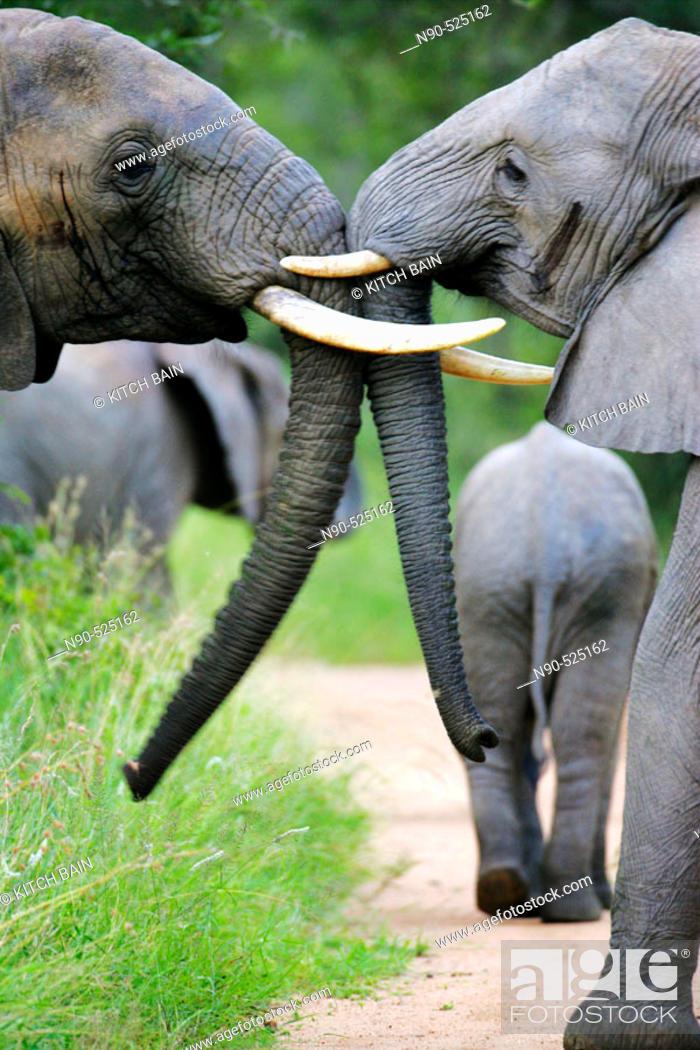 Stock Photo: African Elephants, Africa.