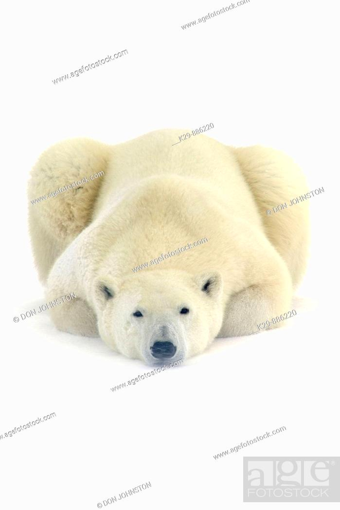 Stock Photo: Polar bear Ursus maritimus Resting in snow along Hudson Bay coastline.