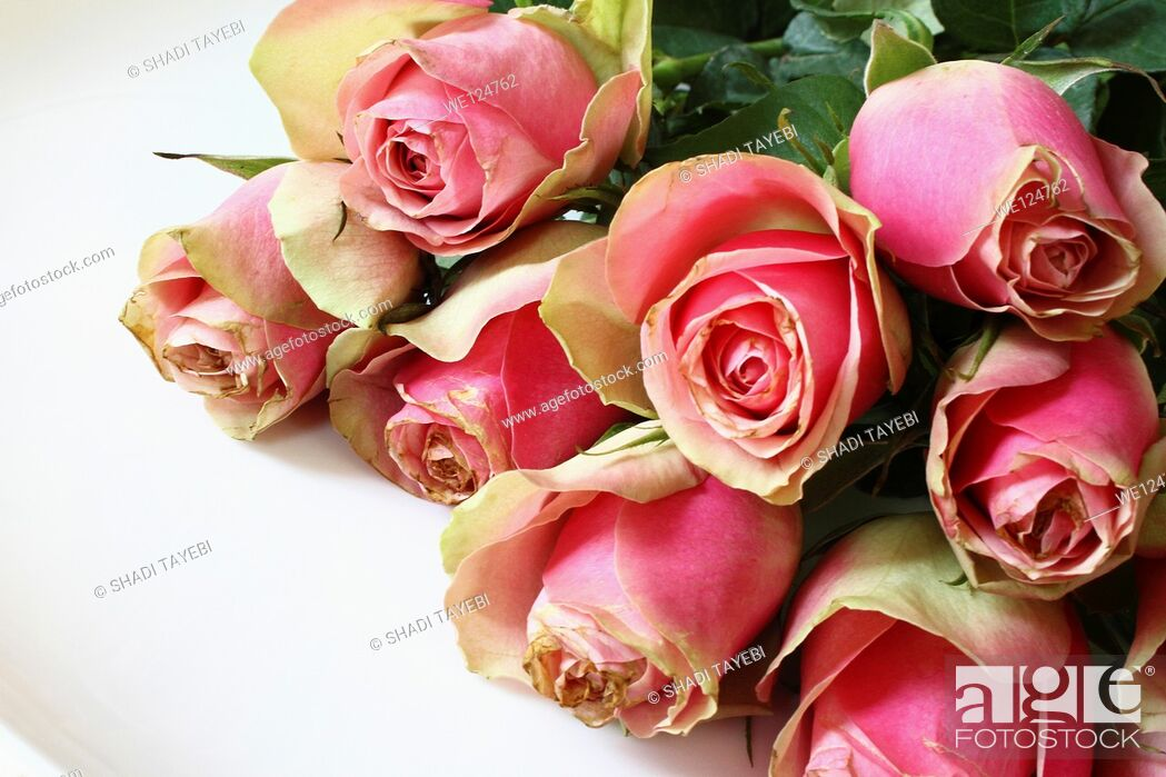 Stock Photo: Bunch of pink roses isolated on white.