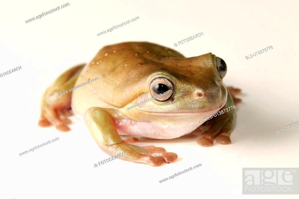 Stock Photo: animals, CLOSE, caerulea, alfred.