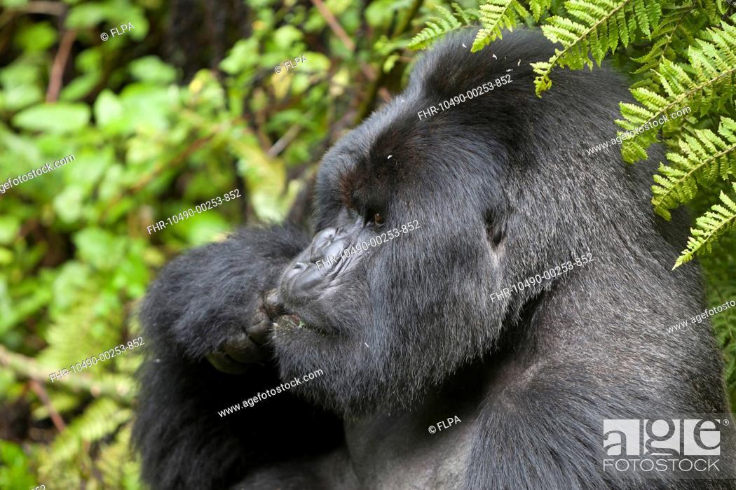 Stock Photo: Mountain Gorilla Gorilla beringei beringei silverback adult male, close-up of head, feeding, sitting in vegetation, Volcanoes N P , Virunga Mountains, Rwanda.